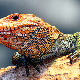 Lézard rouge by Gérard CHATENET - Animals Reptiles
