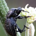 Weevil; Gorgojo