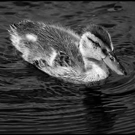 Mallard Duck by Dave Lipchen - Black & White Animals ( mallard duck )