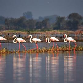 Greater Flamingo!!!! An Elegant Ramp walk... by Pallavi Deodhar - Uncategorized All Uncategorized