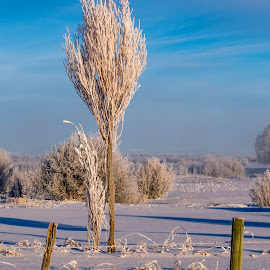 Tall and Frosty by Chad Roberts - Nature Up Close Trees & Bushes ( frost, snow, tree, winter, cold, frosty )