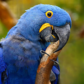 Male blue parrot by Gérard CHATENET - Animals Birds