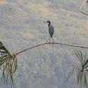 garza azul - Little Blue Heron