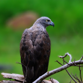 Lesser Fish Eagle by Khairil Anuar - Animals Birds ( bird, lesser fish eagle )