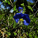 Dayflower