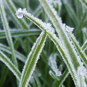 Early Morning Frost by Lauren DeJarnatt Yoder - Nature Up Close Natural Waterdrops ( macro, grass, frost, dew drop, frozen,  )