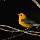 Golden Swamp Warbler (Prothonotary Warbler)