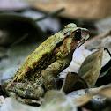 Duttaphyrnus Toad