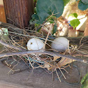 Laughing Dove Nest with Eggs