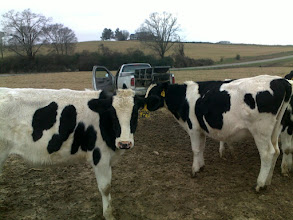 Photo: delivering more feed troughs to a group of yearling heifers