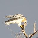 White-tailed Kite (immature)