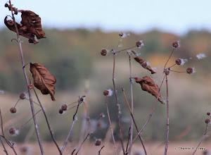 Photo: Buttonbush seed heads
