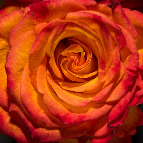 A rose detail by David Stone - Flowers Single Flower ( orange, rose, detail, close up, flower,  )