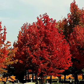 Autumn trees by Nat Bolfan-Stosic - Nature Up Close Trees & Bushes ( red, autumn, bright, trees, colours )