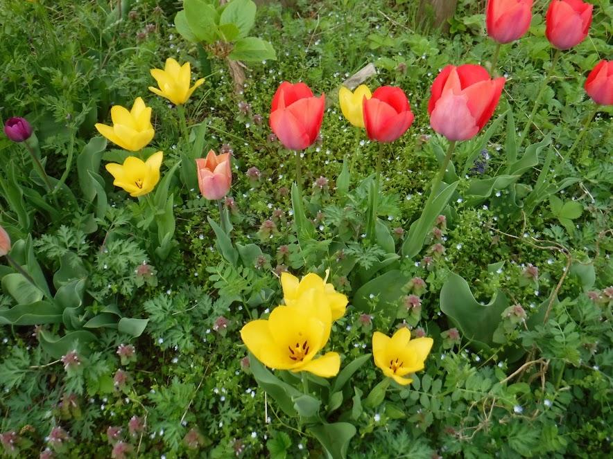 植えっぱなしのチューリップ、今年もきれいに咲きました。