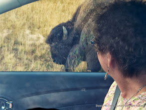 Photo: Regina gets a close up view as the bison walks by our car