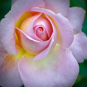 Pink Rose by Viana Santoni-Oliver - Flowers Single Flower ( plant, rose, nature, petals, pink, closeup, flower )