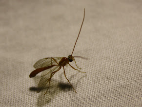 Photo: Ophion Sp  Hymenoptera > Ichneumonidae
