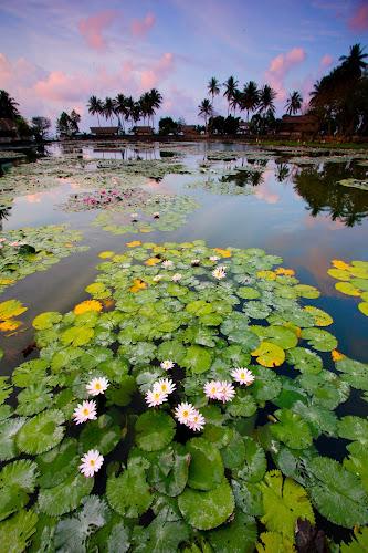 Candidasa Lotus Pond, Bali by Tan  Kian Yong - Landscapes Travel ( bali, lotus, village, candidasa, indonesia, travel, rural )