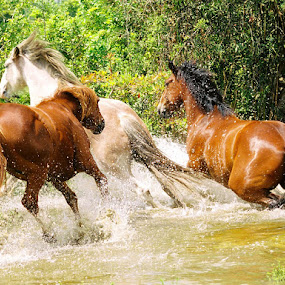 Wet and Wild by Debby  Raskin - Animals Horses ( water, gallop, wild, animals, equine, splash, horses, lake, run, nature, three, trio, pond )