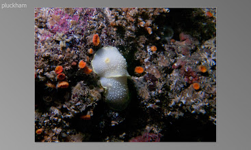 Photo: Yellow-rimmed nudibranch