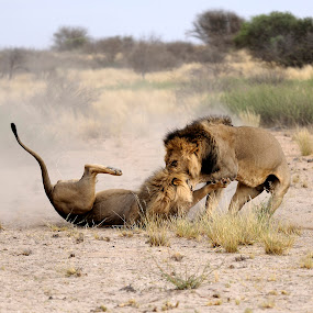 Dueling for a female in K.T.P. in Botswana. by Lorraine Bettex - Animals Lions, Tigers & Big Cats (  )