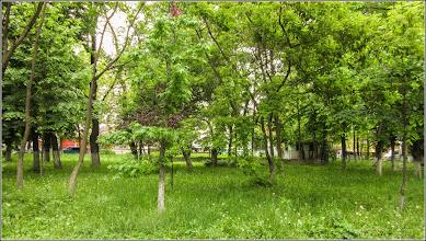Photo: Arțar, paltin de câmp (Acer platanoides) - Turda, Parcul Central - 2019.05.16