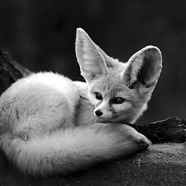 Fenec couché by Gérard CHATENET - Black & White Animals