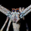 Ogre-faced Spider/Net Casting Spider