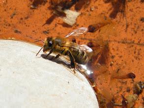 Photo: Dans de l'eau de pluie retenue dans la coupelle d'un pot de fleurs, une abeille vient de boire et se nettoie pour sa première sortie printanière (mars).