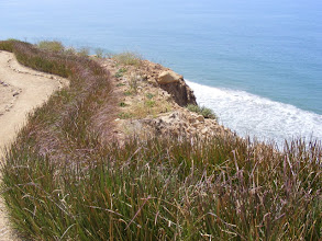Photo: Vetiver hedge runs for over 2,000 lineal feet along the top of the coastal bluff. The bluff edge has held since the establishment of the Vetiver despite heavy rains. Note the poor quality and shallow soils. Apart from bluff stabilization this hedge makes a nice boundary to the path and keeps walkers safely away from the bluff edge.