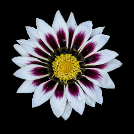 by Mohsin Raza - Flowers Single Flower (  )