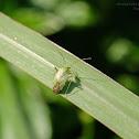 Taylorilygus apicalis 麗盲椿象(泛泰盲椿象)