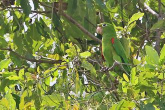 Photo: Hispaniolan Parakeet