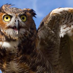 Owl taking flight by Chris Seaton - Animals Birds ( bird, flight, wings, owl, feathers,  )