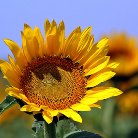Large Sunflower #1 by Tony Huffaker - Flowers Single Flower ( texas, summer, sunflower, large, flower )