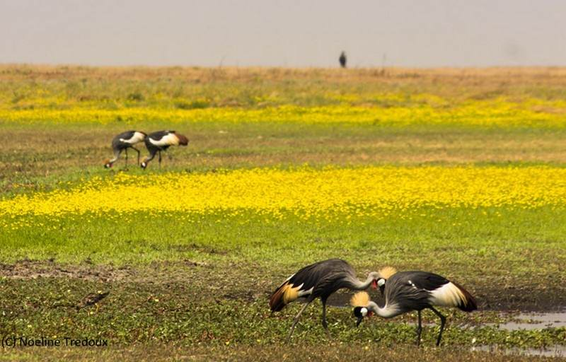 crowned-cranes-liuwa.jpg