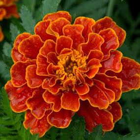 drop by Pitt N Sartoni - Nature Up Close Flowers - 2011-2013