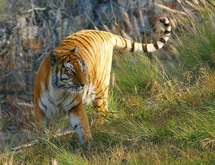 by Charmane Baleiza - Animals Lions, Tigers & Big Cats