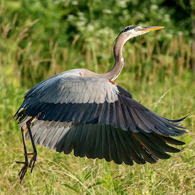 Heron in flight  by Ed Neu - Animals Birds
