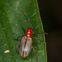 Shining Leaf Beetle