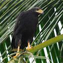 Gavilán cangrejero (Common black hawk)