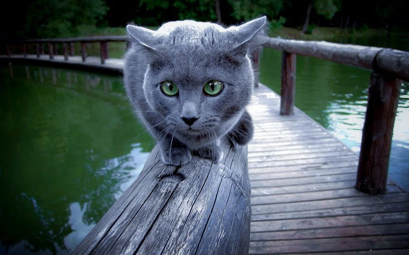 Russian Blue cat price & cost range. Best Russian Blue breeders & sites