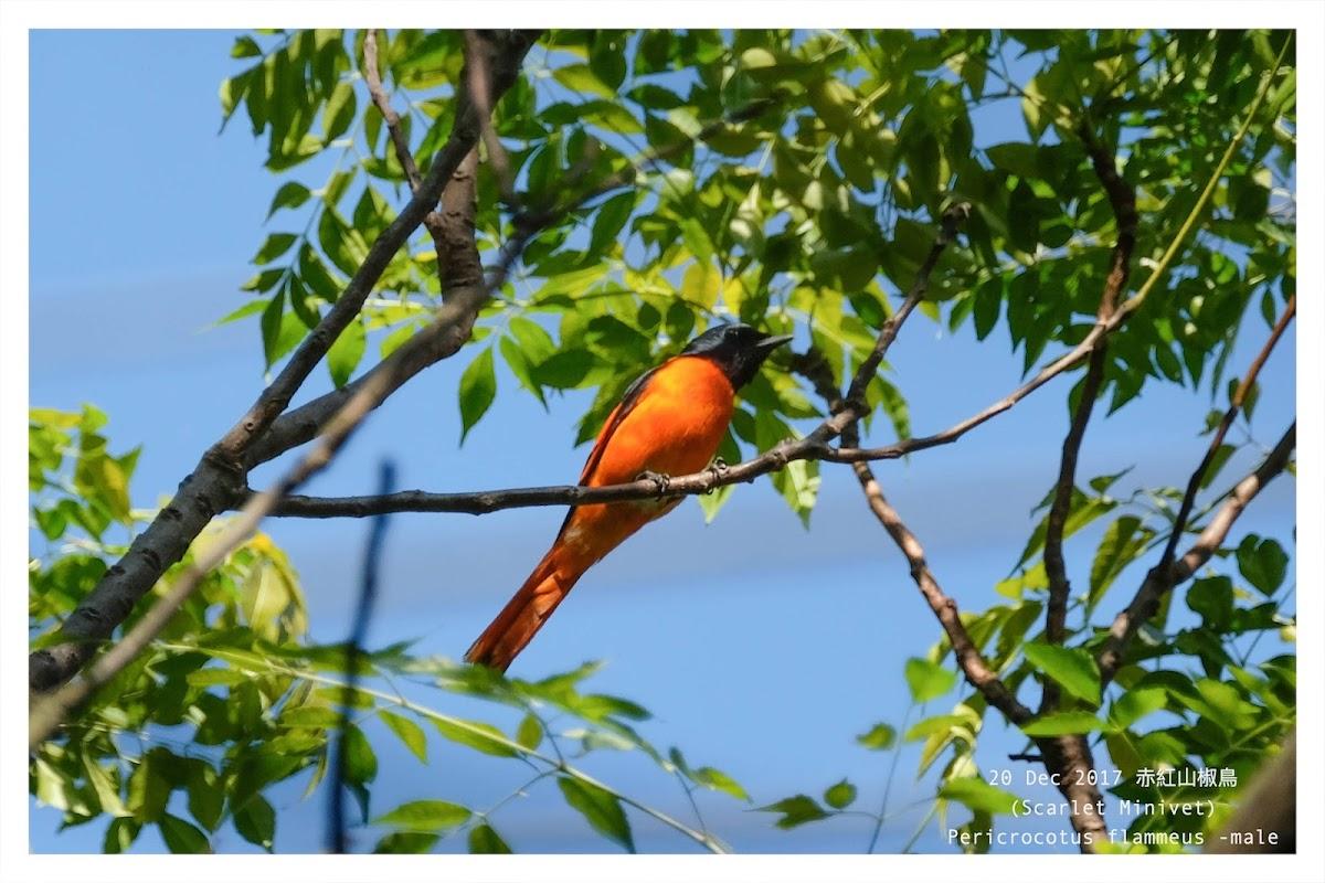 Pericrocotus flammeus 赤紅山椒鳥