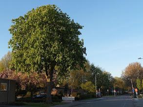 Photo: Bloeiende kastanjeboom aan de Kastanjelaan.