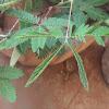 Shame plant