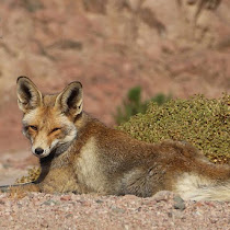 Wildlife of the Sinai Peninsula