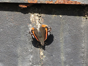 Photo: Red Admiral on Ashenground Bridge - the entrance to the woods.