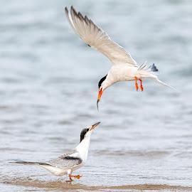 Common Tern Feeding by Carl Albro - Animals Birds ( shorebird, bird, flying, feeding, fish, tern )