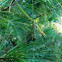 White Pine Sawfly Caterpillar